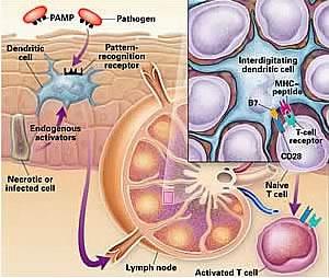 Langerhan cell