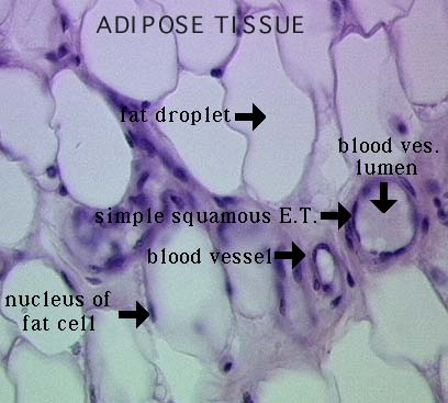 Adipose connective tissue